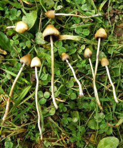 Psilocybe semilanceata magic mushrooms