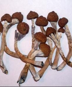 BuyPsilocybe Cubensis spores