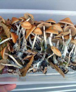 Magic Mushroom Strains