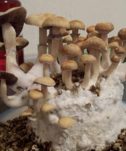 Buy Golden Teacher Mushrooms