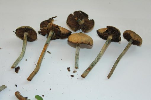 Wollongong Australian Mushroom